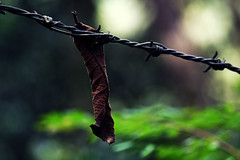 caught in-between (vbsuresh) Tags: light brown india leaf wire dof stuck dry jungle greens barbedwire hanging folded coorg 40d