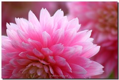 pink dahlia (PHOTOPHOB) Tags: pink dahlia flowers autumn summer plants plant flores flower color macro nature fleur beautiful beauty fleurs petals spring colorful flickr dof estate blossom bokeh sommer herbst natur flor pflanze pflanzen rosa blumen zomer verano bloom otoo blomma vero dalie t blume fiore blomst asteraceae outono dahlias dalia frhling bloem jesie floro kwiat dahlie lato lto wonderworld sonbahar blueribbonwinner dahlien kvt blomman efterr supershot blomsten dalio photophob wonderfulworldofflowers awesomeblossoms