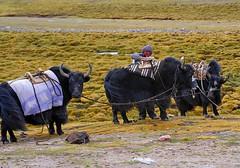 nomad, and Yaks (reurinkjan) Tags: nomad changtang namtsochukmo nyenchentanglha tengrinor janreurink damshungcounty tibet2008sept damgzung