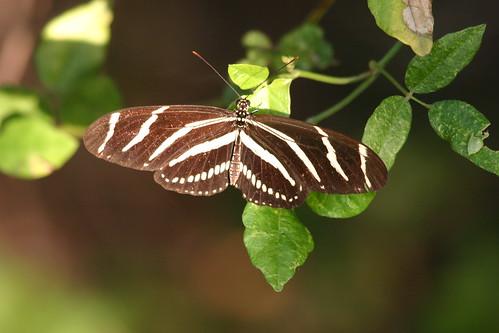 Zebra Longwing-Heliconius charitonius 2008_10_19