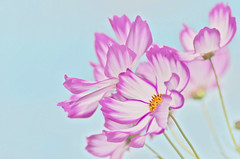 Pastel colors (joka2000) Tags: morning sky flower macro cosmos naturesfinest abigfave naturescreations