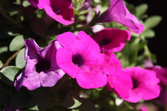 Purple flower in the sun (rob-the-org) Tags: flower purple phoenixaz thefarmsouthmountain phoenixflickrmeet upcoming:event=981998