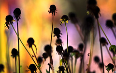 Dead flowers in garden (!.Keesssss.!) Tags: sunlight plant flower nature netherlands silhouette horizontal outdoors photography death day nopeople multicolored botanicalgarden abundance gettyimag