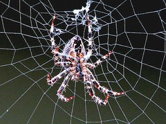 "Spider (luckyonthecliff, Kathy ""Cody"" Robinson) Tags: nature spider insects inspire spiderworld insectsandspiders hiddenworld insectmacrophotography spidersarebeautiful theworldisbeautiful strangeoregon naturalmasterpiece macrolovers kornrawieesgallery dragonflyawardsgroup"