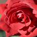 Loose Park - Rose Garden