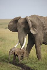 New born (Lyndon Firman) Tags: baby elephant kenya africanelephant masaimara specanimal impressedbeauty bfgreatesthits africanelephantcalf