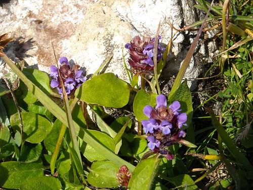 Large Selfheal (Prunella grandiflora)