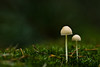 Fairy Umbrellas ((Erik)) Tags: mushrooms magicmushrooms fairyumbrellas schemerlampjes twofunnylittlemushrooms boostertag