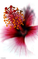 white hibiscus (julioc.) Tags: pink flowers light flower macro portugal nature beautiful closeup garden faro petals shiny dof quality blossoms olympus stamens hibiscus stamen highkey algarve filaments anthers e510 julioc supershot challengeyouwinner theunforgettablepictures photographybyjulioctheblog olympuse510 mostbeautifulflowers nonip j7599