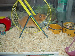Picture 034 (nihontou) Tags: hamsters