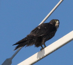 Pt Isabel Peale's Peregrine (Mary Malec) Tags: falcon ptisabel falcoperegrinuspealei pealesperegrinefalcon