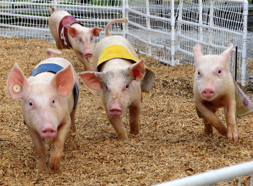 100 Things to see at the fair #100: Randall's Racing Pigs