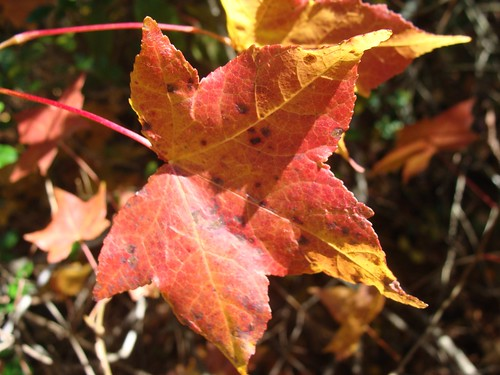 Backlit sweet gum leaf, yellow orange and red