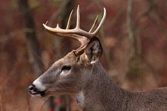 White-tailed Deer Buck (Hard-Rain) Tags: trees winter usa snow chicago game tree animals closeup forest illinois woods hiking wildlife hunting hike deer antlers rack trophy forestpreserve buck mountainbiking mammals stalk palos mammalia hunt whitetail deerhunting whitetailed odocoileus odocoileusvirginianus cervidae chordata artiodactyla chicagoforestpreserve palosforestpreserve explore55