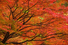 Kyoto in Autumn (Tyler Westcott) Tags: november autumn red orange color colour fall leaves japan maple kyoto explore japanesemaple nikond40 kyotoprize