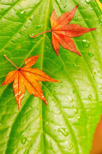 フリー画像| 植物| 葉っぱ| カエデ/もみじ|        フリー素材|