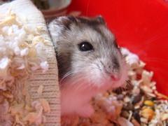 Usbo(vi) (Zuviëh) Tags: hamster bixos usbo