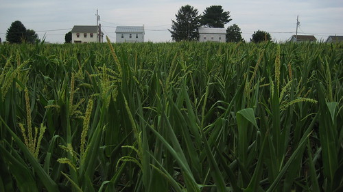 Corn Field and Farm Houses