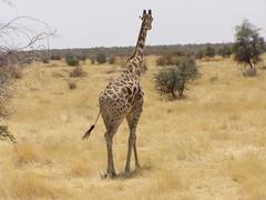 PA130969 (Mini_buss) Tags: 2008 etosha girafe namibie