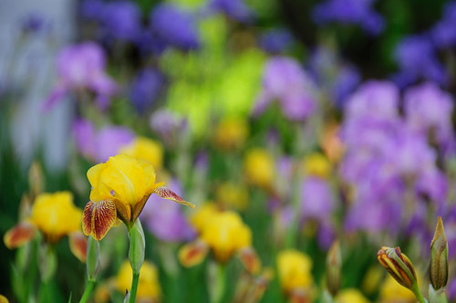 Baby Yellow Irises
