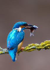 kingfisher (markoh2011) Tags: wild bird kingfisher peregrino27life