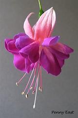 Fuchsia 'Heydon' (pennyeast) Tags: pink plant flower macro home nature garden southafrica botanical basket fuchsia capetown double trailer plantae mygarden westerncape lightpink onagraceae 4x6crop papaalphaecho myfuchsia