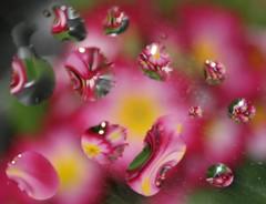 Flowers (Mukumbura) Tags: flowers water droplets refraction