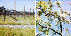 agricultural transformations (lawatt) Tags: tree film apple polaroid vineyard vines diptych transformation blossoms orchard 600 sonomacounty agriculture sebastopol slr680 grape