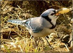 Geai Bleu (-VRo-) Tags: bird oiseau geaibleu photoquebec lysdor