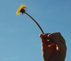 share the love (MsMimiSmeeks) Tags: blue sky flower sunshine yellow spring hannah dandelion fpc blueribbonwinner mywinners platinumphoto excellentphotographerawards theperfectphotographer goldstaraward