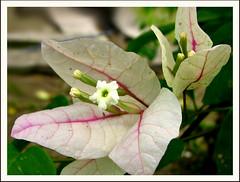 bougainvillea (djsitaun) Tags: flower macro bougainvillea borneo bunga sabah kertas alwaysbloom