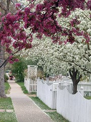 White Picket Fence (Aidan M. Grey) Tags: pink white flower macro fence spring fave sidewalk picket crabapple