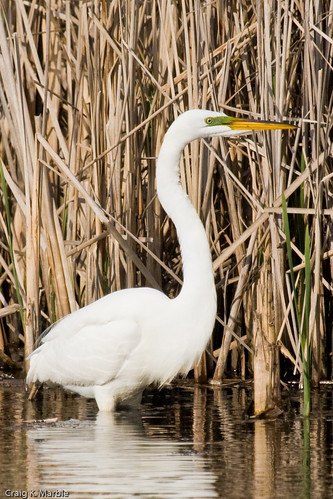 Great Egret (green lores)