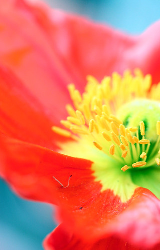 a new poppy