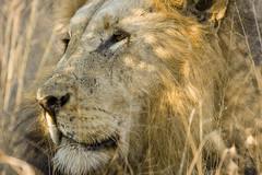 King of the savanne (No CROP, No ZOO)
