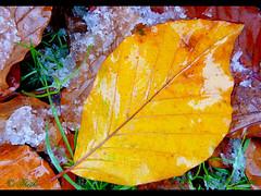 071109 fn 80603 (thethi (pls, read my 1st comment, tks a lot)) Tags: feuille neige automne jardin wallonie belgique belgium bestof2007 82196 végétauxquot faves10 setnovembre setvegetaux photoarevoir