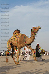 Dancing camel (KamiSyed.) Tags: wedding pakistan man men kids women culture arab desi pakistani punjab cultural punjabi islamabad weddingphotographer rawalpindi urdu taxila weddingphotography woaman studio9 weddingphotographs impressedbeauty weddingpix kamisyed kamransafdar chinak