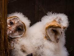 P6143098-98 mm-01 (suneko) Tags: bird birds animal zoo sigma olympus owl e3 animalplanet photoword  animalkingdomelite sigma50500mmf463dgfourthirds