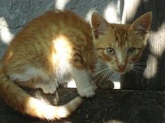 tigrisor (alesia17) Tags: kittens pete lumina labute pisici scara pisoi leandru dungi urechi vargat tigrisor