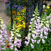 "Foxgloves • <a style=""font-size:0.8em;"" href=""https://www.flickr.com/photos/78624443@N00/2619599784/"" target=""_blank"">View on Flickr</a>"
