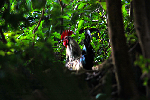 Free Range Bermuda Forest Rooster