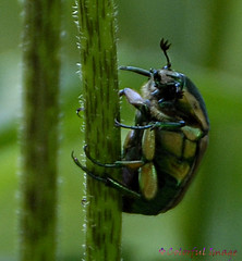 Jewelled Beatle (July 2, 2008) (Colorful Image ) Tags: bug garden beatle
