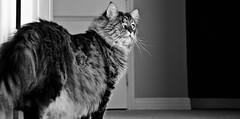 Thomas the One Eye Maine Coon (LatinOnhel) Tags: door bw white black eye monochrome angel cat fur nikon feline texas fort thomas maine whiskers coon worth nikkor d300 monart latinonhel