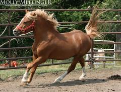Kar Mar Buck (Mellinger Photography) Tags: horse liberty photography mar pony chestnut scotch welsh buck stud kar stallion equine stables megafleet stopek