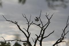 IMG_2705 (Kay Rees) Tags: greyfalcon 080528 outback2008 album2008outbackbirds album2008outbacktravel 400d270