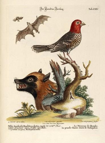 Le Moineau de Paradis et La grande Chauve-Souris de Madagascar
