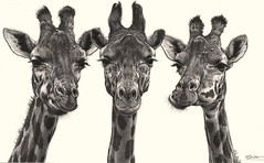 'Eyelashes' - Giraffes - Fine Art Pencil Drawings  www.drawntonature.co.uk (kjhayler) Tags: pictures africa family wild portrait blackandwhite male art nature monochrome animal animals female pencil portraits painting sketch photo photos drawing african wildlife paintings young picture drawings naturalhistory giraffes prints giraffe serengeti sketches herd animalart amboseli masaimara wildanimals girraffe animalprints girafes africanart ngorogoro pencildrawings wildlifeimages drawingpictures animalpictures wildlifeart africanwildlife africananimals wildlifephotography wildlifephotos animalphotos animaldrawings wildlifeartists naturepictures giraffs girrafes wildlifeportraits wildpictures animalspictures openedition wildlifeartist wildlifedrawings drawingphotographs kevinhayler wildlifegiraffes giraffephoto giraffephotos giraffesphotos giraffebabies picturesofgiraffes giraffepictures giraffepicture giraffespictures younggiraffes