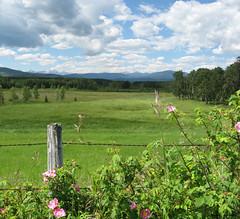Bragg Creek 2 Roses (ocean.flynn) Tags: foothills rose geotagged kananaskis rockies flora alberta rockymountains wildrose prairies googleearth geotag geotagging prairiemountain calgarydaytrips braggcreek2