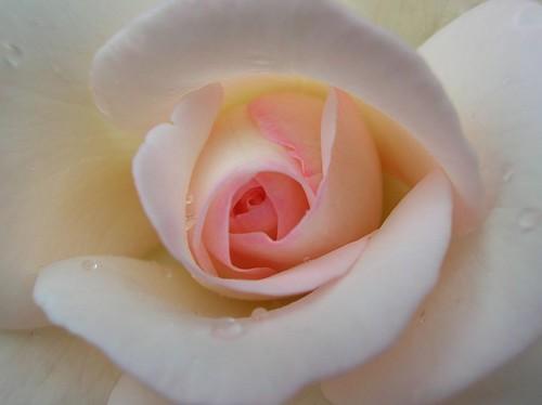 Une rose rose