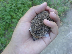 My Precious (BlueLunarRose) Tags: baby cute love animal peace precious hedge hedgehog lovepeace cuteanimal hedg